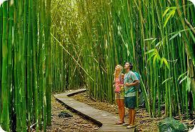 Coltivare Bamb Gigante In Italia.Green Economy Consulenza Coltivazione Bambu Gigante Eco